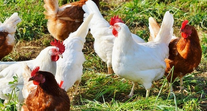 Use of technology in modern chicken farms